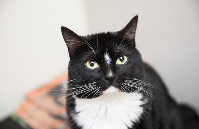 The face of Arizona, a black and white cat