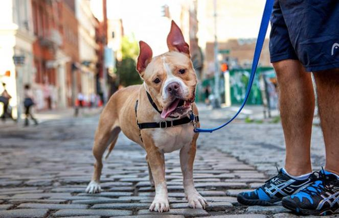 Ruthie the dog in a harness on a leash for a walk