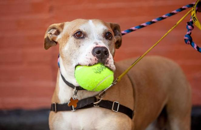 Ichi the brown and white dog on a leash holding a toy ball in his mouth