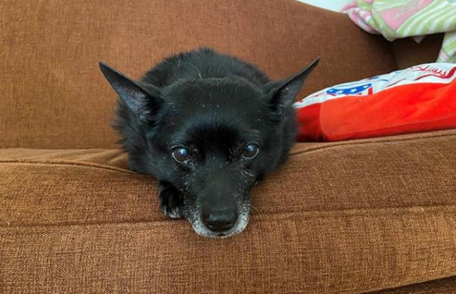 senior dog snuggles on a couch