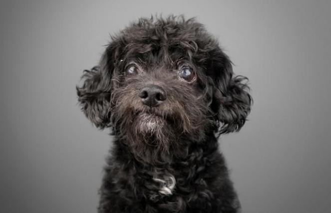 The face of Luigi, the senior black poodle with a little white spot on his chest