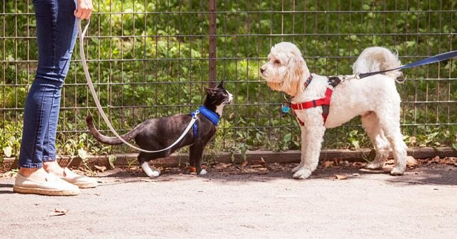 Black and white kitten Candycane walking on a leash nose-to-nose with a small white dog also walking on a leash