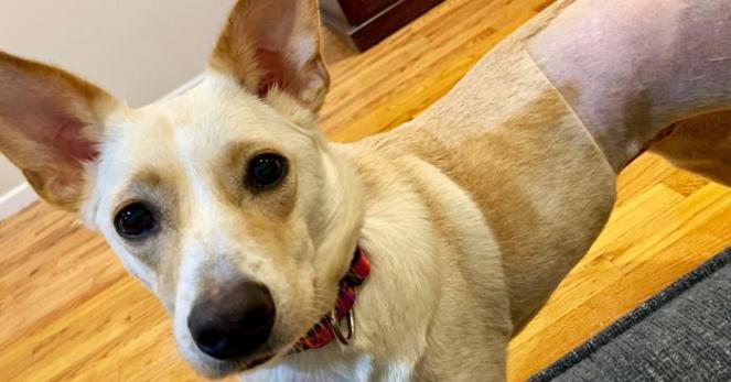 Kash, the blond three-legged dog, still shaved from the amputation