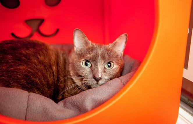 Luna the dilute calico cat in an orange plastic cat bed