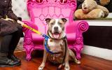 Bertha the grey and white pit bull terrier with mouth open and tongue out sitting in front of pink throne