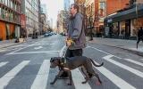 Volunteer Fabio Vitolla walking a large gray dog on a crosswalk on a street