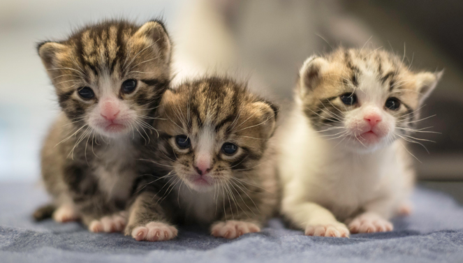 Popcorn, Kernel, and Corn the tabby kittens